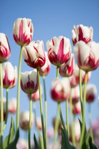 white and pink tulips growing in a field against a blue sky